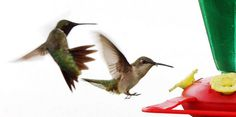 Hummingbirds are flocking to nectar feeders right now.