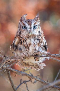 "wild-diary:"" Eastern Screech Owl | Fred Dunn"""