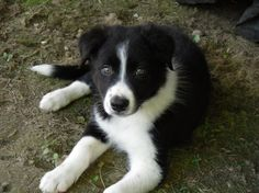 Border Collie puppy - love those eyes!