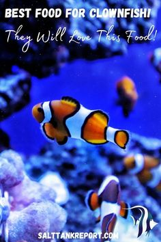 Check out the best saltwater fish for for clownfish. Feeding clownfish a premium quality food is essential for their long term health. #saltwaterfish #aquariumfish #saltwaterfishforbeginners #saltwateraquariums Saltwater Fish Tanks, Saltwater Aquarium, Aquarium Fish, Salt Water Fish, Salt And Water, Fishing For Beginners, Mermaid Bathroom, Fish Care, Clownfish