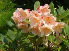 Rhododendron. Peach Flowers by tatteredangel on DeviantArt