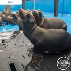 Here are just a few of the more than 700 sea lions that SeaWorld has rescued and worked round-the-clock to rehabilitate during the #2015SeaLionCrisis. #365DaysOfRescue