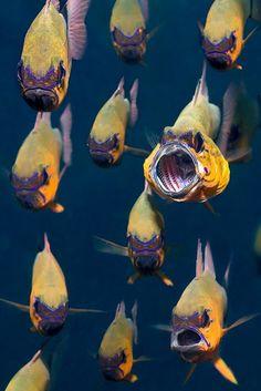 Apogon aureus (ring-tailed cardinalfish)