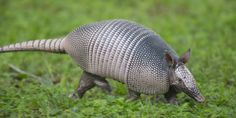 Texas: Nine-Banded Armadillo