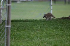 Baby 'coon Wildlife, Dogs, Baby, Photos, Animals, Pictures, Animales, Animaux, Pet Dogs