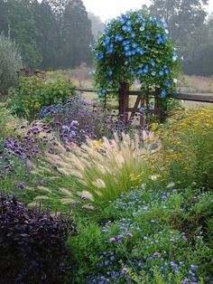 heavenly blue morning glories, ornamental grasses. This is what I want my garden to look like