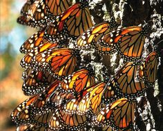 Monarch Butterflies in Winter