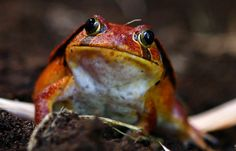 A tomato frog (Dyscophus antongilii) sits in its terrarium during an animal inventory on December 27, 2012 at the Tierpark Hagenbeck zoo in Hamburg, northern Germany. During the annual inventory, all animals are counted, weighed and measured.