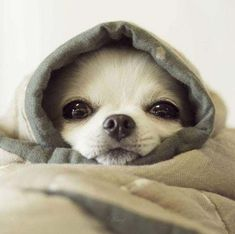 Cute Chihuahua Pictures | List of the Cutest Photos of Chihuahuas