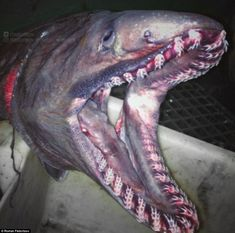The Murmansk-based fisherman Roman Fedortsov has revealed a trove of terrifying catches, from eight-legged arthropods to fish with dagger-like teeth like the frilled shark (pictured). Deep Sea Creatures, Alien Creatures, Alien Fish, Frilled Shark, Sea Spider, Ugly Animals, Shark Pictures, Blobfish, Shark Family