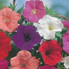 Petunia Confetti Mixed Mr Fothergill's Seed - Irish Plants Direct