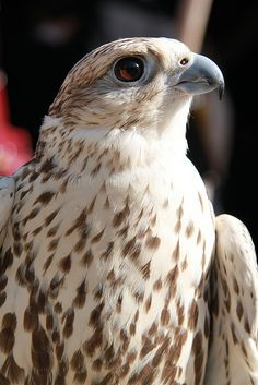 The Saker Falcon (Falco cherrug) is a large species of falcon that breeds from Europe eastwards across Asia to Manchuria. It is mainly migratory except in the S of its range, wintering in Ethiopia, the Arabian peninsula, N Pakistan and W China.