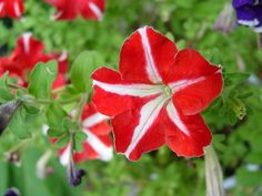 How to make petunia seedlings from cut branches - Petunias are lovely garden plants when they bloom and are also edible. Available in almost all colo - Container Flowers, Container Plants, Petunias, Fall Planters, Container Gardening Vegetables, Annual Flowers, Dusty Miller, Plantar, Seed Starting