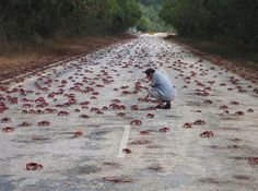Migration Of Red Crabs – Christmas Island, Australia - The island is particularly known for the red crabs, a species of land crab, which migrate from the forest to the coast each year during the breeding season. Perth, Amazing Animal Pictures, Amazing Photos, Nature Pictures, Amazing Places, Beautiful Places, Christmas Photo, Bizarre Animals, Christmas Island