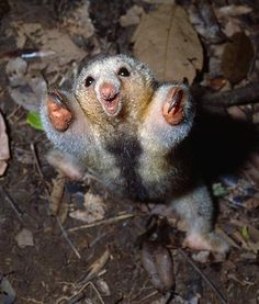 The Silky Anteater is the smallest anteater in the world. They are largely arboreal and climb through the canopy with their partly prehensile tails and their sharp sloth-like claws. Unusual Animal Friendships, Unusual Animals, Rare Animals, Animals And Pets, Cute Funny Animals, Funny Animal Pictures, Cute Baby Animals, Animal Babies, Beautiful Creatures