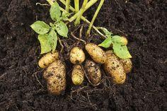 Hot Weather Potato Varieties: Tips For Growing Potatoes In Zone 9 When To Plant Potatoes, How To Store Potatoes, Planting Potatoes, Grow Potatoes, Zone 9 Gardening, Vegetable Gardening, Growing Sweet Peas, Le Baobab, Potato Varieties
