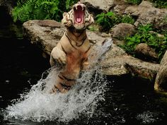 A Tiger Attacking An3d Jumping Out Of The Water Wallpaper - Your HD Wallpaper #ID59841 (shared via SlingPic)