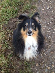 Elverlamshusets Uno Shetlandsheepdog | Pawshake