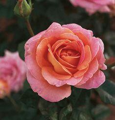 Storblommig rabattros   Blomsterlandet.se Rose, Flowers, Plants, Pink, Roses, Flora, Royal Icing Flowers, Floral, Plant