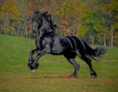 KFPS Permanently Approved Friesian Stallion