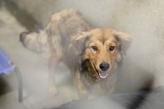 01/10/15-ODESSA URGENT - Collie mix male 1-2 years old Kennel A14 $51 to adopt Loving this dog!!! Fluffy and beautiful!!! He is good with other dogs and showered me with kisses! ADOPT/RESCUE/FOSTER Located at Odessa, Texas Animal Control. Must have a valid Drivers License and utility bill with matching address to adopt. They accept Credit Cards, cash or checks. Please send us a PM if we can answer any questions for you.