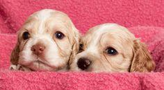 Adorables-cachorros-que-no-parecen-reales-29.jpg (950×526)