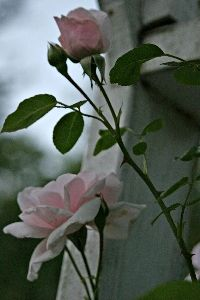 """This is the lovely """"New Dawn"""". They are beautiful, and hardy Climbing Roses that grow in my garden."""