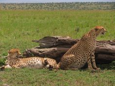 Cheetah's cubs are around the corner...It is counting days.