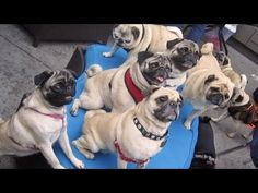 36 Pugs...ADOPT A PUG TODAY! Ha - just try to have a normal dinner party with pugs!  This video is so much awesomeness.  I especially found funny 0:52, 1:38 and 1:56.