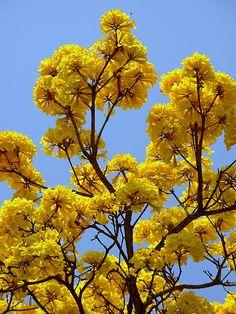Yellow Lapacho Paraguay