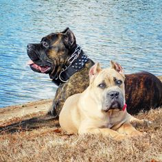 From ' Cane Corso ' Cane Corso Italian Mastiff, Cane Corso Mastiff, Cane Corso Dog, Really Big Dogs, Nice Dogs, Awesome Dogs, American Bulldog Scott, Mastiff Dog Breeds, Black Pitbull
