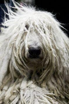Hungarian Komondor Sheepdog...