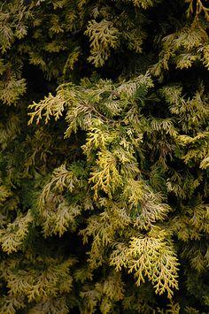 Golden Hinoki Falsecypress (Chamaecyparis obtusa 'Aurea') at Connon Nurseries CBV