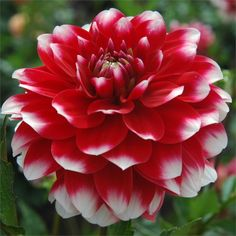 """ZAKARY ROBERT (BBFD) Introduced in 2006. Bright, cheery 4"""" blooms of cherry red with petals tipped white. Outstanding color for the garden with a 4' plant that produces nice, strong stems for cutting. A fun color to add in floral arrangements to add some pop. Recommended as a cut flower."""