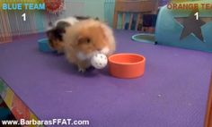 """Whatcha watching?...""""Oh, nothing! Just a couple of guinea pigs playing basketball."""""""