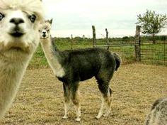 photobomb alpaca
