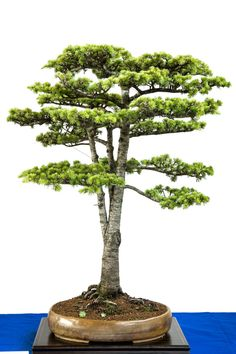 Cedrus libanii als Bonsai-Baum Mini Bonsai, Indoor Bonsai, Bonsai Plants, Bonsai Garden, Indoor Garden, Bonsai Tree Care, Bonsai Tree Types, Bonsai Trees, Conifer Trees
