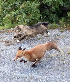 Cat & Fox. Do cats hunt foxes? because that cat is hunting that fox and that fox is running from that cat.