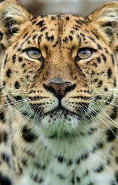 Male Amur Leopard Wildlife Heritage UK wallpapers Wallpapers) – Wallpapers For Desktop Beautiful Cats, Animals Beautiful, Big Cats, Cats And Kittens, Animals And Pets, Cute Animals, Amur Leopard, Snow Leopard, Cheetah