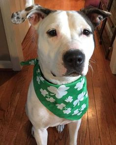 Blanca is Spanish for white so you already know I can't wait for tons of the white fluffy stuff tomorrow! Yes Blanca is the name and being a sweet pup is my game! I am a a 14 month old pittie mix who weighs around 55 pounds. Apply to adopt me at http://ift.tt/1vS2A9I today!  #rescuedogsofig #rescuedogsrock #rescuedogsofinstagram #dogsofinsta #dogstagram #adopt #adoptme #adoptadog #adoptdontshop #adoptdontbreed #dogrescue #dogstagram #dogsofphilly #dogsofinstagram