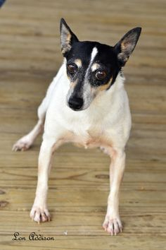Seven is a very little loving rat terrier that has never had a home of her own. Laying next to you or even on your lap would make her feel she was in heaven. If you are looking for a little dog, check out Seven. She is up-to-date on vaccines,...Click on pic for additional information about this furry baby♥