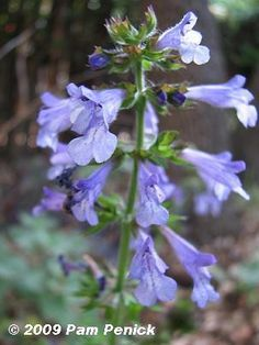 Lyre-leaf sage   Plants Good for Hummingbirds and Butterflies