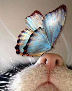 Gato com uma borboleta azul no nariz