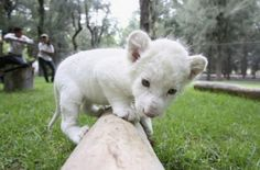 A very rare snow-white lion cub