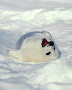 Baby harp seal, Magdallen Islands, Nova Scotia, Canada - ID: 176506 © Jim Zuckerman Baby Harp Seal, Baby Seal, All Gods Creatures, Sea Creatures, Cute Baby Animals, Animals And Pets, Cute Seals, Dou Dou, Seal Pup