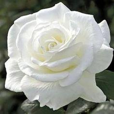 Hybrid tea roses – Home Decor Gardening Flowers Yellow Roses, Pink Roses, Pink Flowers, Small Flowers, Paper Flowers, Exotic Flowers, Beautiful Flowers, Weeks Roses, Planting Roses