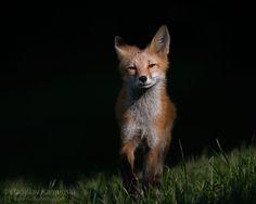 An evening encounter 365 days fox marathon Day 179 #365daysfoxmarathon #photography #cute