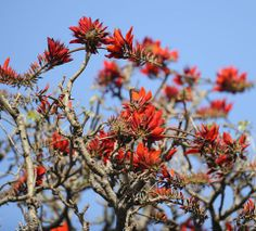 鮮やかな赤色の花を咲かせる与儀公園のデイゴ=11日午後、那覇市与儀(2014年4月12日更新) ▼12Apr2014琉球新報|夏日、デイゴの花開く 平年より10日遅く http://ryukyushimpo.jp/news/storyid-223425-storytopic-98.html #Yogi_park #Naha #Erythrina_variegata #Tigers_Claw #Indian_Coral_Tree #Sunshine_Tree #Deigo