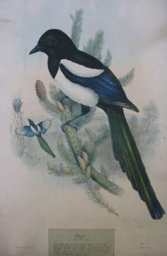 Magpie (1918.940)   The Thomas Coglan Horsfall Collection