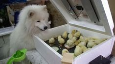 Chicks and Dog